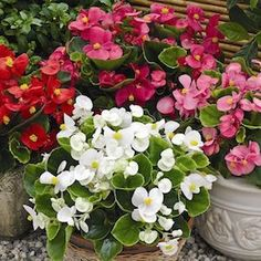 Garden Crossings Online Garden Center offers a large selection of Begonia Dwarf Plants. Shop our Online Annual catalog today! Container Plants, Container Gardening, Flower Seeds, Flower Pots, Rose Flowers, Order Plants Online, Dwarf Plants, Annual Flowers, Annual Plants
