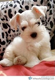 Schnauzer - none of mine have been THIS white - in fact, white isnt even an AKC color for the breed - but this puppy sure is cute!  :-)