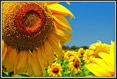Girasole, Copyright by AMR Andrea und Michael Roepert Photography 2014