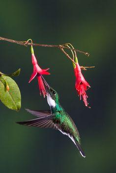 Foto beija-flor-de-papo-branco (Leucochloris albicollis) por Guilherme Ortiz | Wiki Aves - A Enciclopédia das Aves do Brasil