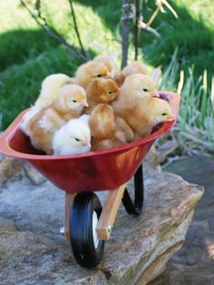 Wheelbarrow full of baby chickens ❤ this post does not have anything to do with 'taming' chicks.but the photo is adorable. Baby Chickens, Chickens And Roosters, Raising Chickens, Farm Animals, Animals And Pets, Cute Animals, Backyard Poultry, Chickens Backyard, Poule Bantam
