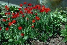 Image result for Pilosella aurantiaca