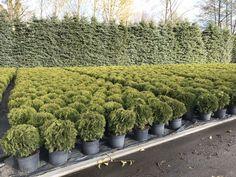 Thuja occidentalis Danica / Туя западная Даника Шаровидной формы хвойное растение, не требовательно к световым условиям и менее требовательна к влажности почв.  Растет медленно, от 3 до 5 см в год.   Во взрослом состоянии 0,8 м. в высоту и 1 м. в ширину.