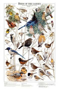 Oiseaux du jardin  Poster