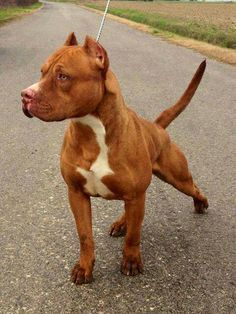 Uplifting So You Want A American Pit Bull Terrier Ideas. Fabulous So You Want A American Pit Bull Terrier Ideas. American Pitbull, American Pit Bull Terrier, Pitbull Terrier, Amstaff Terrier, Terrier Mix, Terriers, Rednose Pitbull, Pitbull Blue, Red Nose Pitbull Puppies