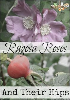 Rugosa Roses l Delicious rose hips, easy to maintain - the perfect rose! l Homestead Lady (.com)