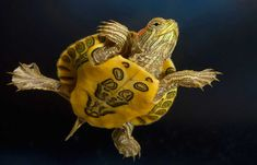 Red eared slider turtle is one of the most popular aquatic turtle pets. Learn about its care, tank setup, diet, food feeding, and how to buy a healthy turtle on sales here! Red Eared Slider Care, Baby Red Eared Slider, Red Eared Slider Turtle, Different Types Of Turtles, Cute Baby Turtles, News Slider, Turtle Aquarium, Underwater Wallpaper, Turtle Care