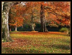 Autumn colour in Hagley park, a feature of the city,a pleasure in all seasons, spring sees millions of spring bulbs.