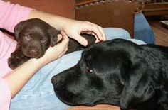 Last day with my mum.. #chocolate, #labrador, #pup,