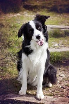 3 year border collie luske - Cause I am Happy.. clap along if you feel like a ... ruff bow wowowowow. :) #bordercollie