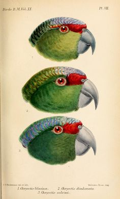 Parrots (Chrysoti) - Catalogue of the Birds in the British Museum