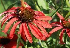 Flori ce atrag polenizatorii în grădină Salvia, Cosmos, Gardening, Plant, Life, Farm Gate, Lawn And Garden, Sage, Space