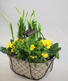 Spring flowers in yellow - Bring a blast of spring colour indoors with this fab trug arrangement. The plastic and canvas-lined trug measures 25cm long x 17cm wide x 10cm high, and it has been planted up with a selection of spring favourites, each producing yellow flowers. It should give you weeks of colour, and after the display has faded, you can plant some of the items outside in the garden, where they will go on to flower year after year.