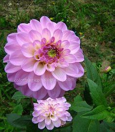 [Pink+Dahlias+in+the+garden.jpg]