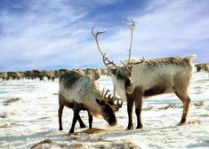 """Historically, the European/Asian reindeer and American Caribou were considered to be different species, but they are actually one and the same. Reindeer comes from the Old Norse word """"hreinin,"""" which means """"horned animal."""" Caribou is based on the French word for """"snow shoveler,"""" in reference to the animal's habit of digging through the snow for food."""