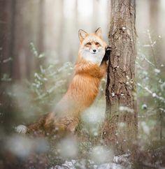 Lady Fox by © Alicja Zmyslowska