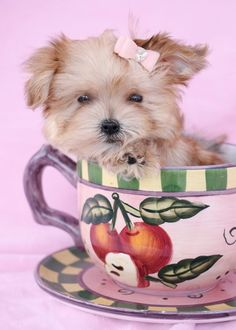 Morkie Puppy by TeaCups, Puppies & Boutique