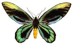 Would love to see one in person someday...Queen Alexandra Birdwing Butterfly