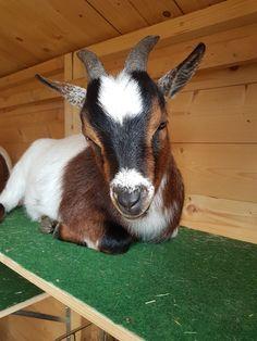 Mein Name ist Finn . Goats, Animals, Names, Animales, Animaux, Animal Memes, Animal, Goat, Animais