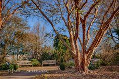 Japanese crape myrtle at the Raulston Arboretum