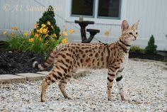 Male Savannah Cat F1 Generation - A1-Savannahs Europe
