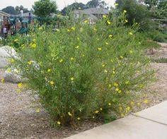 Tree Poppy (Dendromecon Rigida)