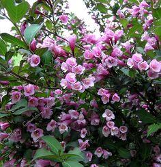 Картинки по запросу вейгела цветущая