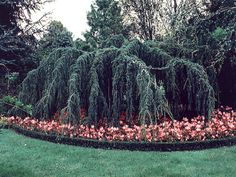 Cedrus atlantica pendula. Common Name: Weeping Blue Atlas Cedar