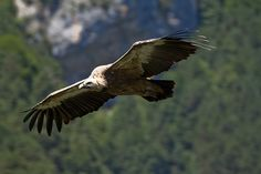 lammergieren in de spaanse pyreneeen: ornithologie