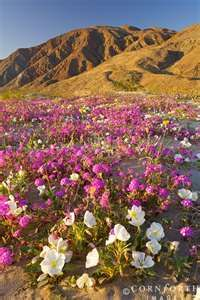 1000 images about desert flowers on pinterest desert for Alfombras de borrego