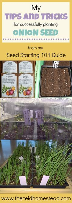 Tips and Tricks to Successfully Plant Your Onion Seed for an Abundant Harvest from my Seed Starting 101 Guide The Reid Homestead