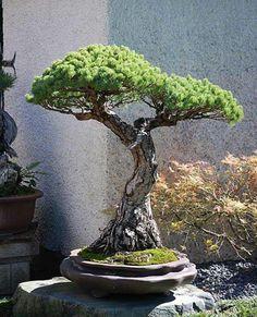... #Bonsai #Art #BonzaiArt #Gardening