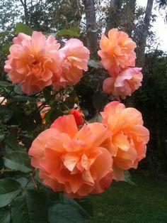 Camellias by Peter Skinner.