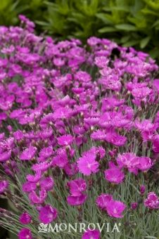 Dianthus.  Firewitch Cheddar Pink.  Late spring bloom, full sun.