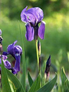 Saksankurjenmiekka, Iris germanica - Kukkakasvit - LuontoPortti