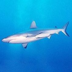 The largest fish is the great whale shark which can reach fifty feet in length. Shark Bait, Reef Shark, Shark Shark, Jungle Red, Save The Sharks, Reading Practice, Ielts Reading, Reading Skills, New Scientist
