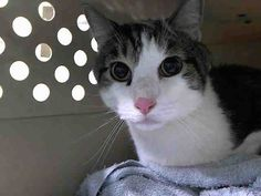 MANGO - A1047435 - - Manhattan  ***TO BE DESTROYED 08/24/15*** SECOND NIGHT ON THE LIST and doing well with his current meds for his cold!!  How can you get any sweeter than MANGO, YET treated so badly! This is unfortunately 8 year old MANGO'S life. He was DUMPED by his previous FAMILY who was with him his whole life! Yet when it came time for the family to move, ,it became too inconvenient for them to find a dwelling that was cat friendly!  Now poor MANGO may just ha