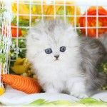 Rare Lilac & White Doll Face Persian Kitten for Sale. Miniature KittensUltra Rare Persian Kittens For Sale – (660) 292-0515 – Located in Northern Missouri (Shipping Available)