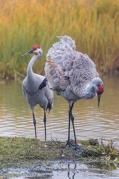 Sandhill Cranes (Grus canadensis) North America