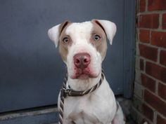 SUPER URGENT 2/8/14 Brooklyn Center   My name is PETE. My Animal ID # is A0990717. I am a male white and tan pit bull. The shelter thinks I am about 1 YEAR 1 MONTH old...