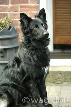 Handsome black German Shepherd dog.....this reminds me of Kesha!! Miss her!!! She was an amazing first dog!!