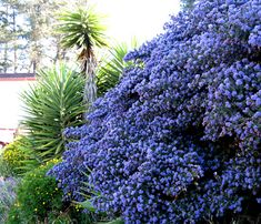 It's almost Ceanothus season!!! This handsome native shrub or small tree is attractive in so many respects: it requires little water to thrive, has lovely true-blue flowers, attracts bees, butterflies & birds, & has a lovely fragrance. It's also evergreen, fast growing, long lived (in Ceanothus terms), heat tolerant, & low maintenance. 'Ray Hartman'