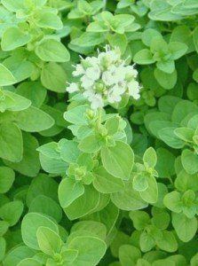 ~Sweet Marjoram Plant - The small compact plant does well in containers or in the garden itself. #live #plant