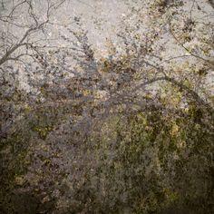 arbre de Judée / Italie