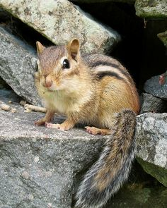 Eastern Chipmunk (Tamias striatus) (photo credit: Gilles Gonthier)