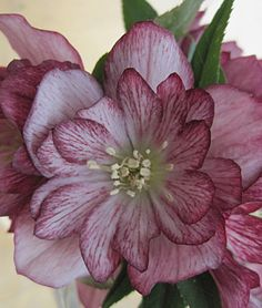 Helleborus, Stained Glass  Zone: 4-8   Sun: Full Shade, Part Sun   Height: 14-18  inches  Spread: 20-24  inches  Uses: Beds, Cut Flowers   Bloom Season: Spring
