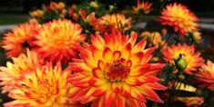 "Dahlia flowers bloom at the ""Westfalenpa"