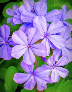 Purple Jasmine by Frances Ann Hattier Jasmine Ground Cover, Ground Cover Plants, Photo Tree, Flower Pictures, Flower Wallpaper, Wood Print, Purple Flowers, Embroidery Patterns, Beautiful Flowers