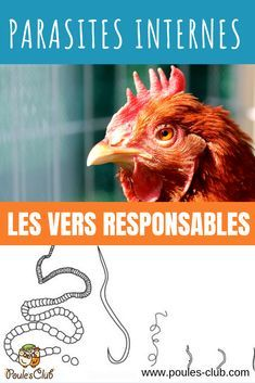 #poules Quels vers peuvent parasiter les poules ? Informations sur les parasites internes des poules. Les Parasites, Keeping Chickens, Chicken Runs, Poultry, Rooster, Coqs, Homesteads, Decoration, Chicken Pen