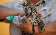 Un jaguar de cuatro semanas hace su primera aparición pública en el zoo de Ciudad Juarez, México (José Luis González, 2015)